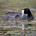 Red Knobbed Coot by Melanie Meyer