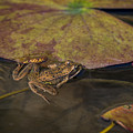 Red-legged Frog by Robert Potts