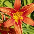 Red Lily by Vineta Marinovic