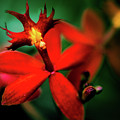 Red Orchid by David Creagh