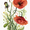 Red Poppies Watercolor by Olga Shvartsur