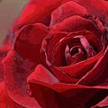 Red Rose by Julie Blackburn