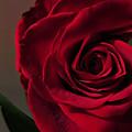 Red Rose Macro 6 by Tara Shalton