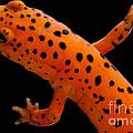 Red Salamander by Dant� Fenolio