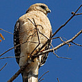 Red Shouldered Hawk by Alan Lenk
