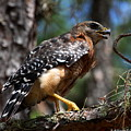 Red Shouldered Hawk by Barbara Bowen