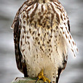 Red Shouldered Hawk by John McCuen