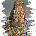 Red-shouldered Hawk by Larry Linton