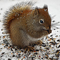 Red Squirrel  by Diane E Berry