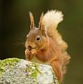 Red Squirrel by Trevor Clifford