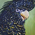 Red Tailed Black Cockatoo  by Cynthia Farr