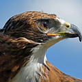 Red-tailed Hawk by Alan Lenk