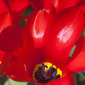 Red Tulips by Andre Goncalves