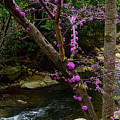 Redbud And River by Thomas R Fletcher