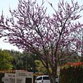 Redbud Tree  by Ruth  Housley