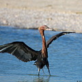 Reddish Egret by Barbara Bowen