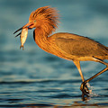 Reddish Egret With Fish by Jerry Fornarotto