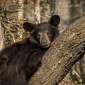 Resting Bear by Mary Jo Cox