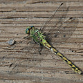 Resting Dragonfly by Katherine Nutt