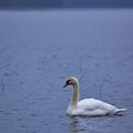 Rhapsody In Blue. Mute Swan by Jouko Lehto