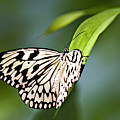 Rice Paper Butterfly 5 by Walter Herrit