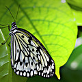 Rice Paper Butterfly 6 by Walter Herrit
