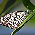 Rice Paper Butterfly 8 by Walter Herrit