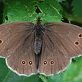 Ringlet Butterfly by Colin Knight