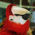 Ringo The Ruby Macaw by Eileen Parker