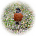 Robin by Lindy Pollard