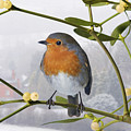 Robin On Mistletoe by Warren Photographic