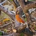 Robin On Cut Down Tree Branch by Linda Brody