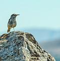 Rock Wren 2 by Rick Mosher