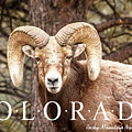 Rocky Mountain Bighorn Sheep by Teri Virbickis