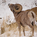 Rocky Mtn.big Horns by Greg Payne
