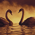 Romantic African Swans by Brent Black - Printscapes