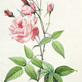Rosa Indica Vulgaris by Pierre Joseph Redoute