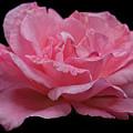 Rose - Flower by Dorival Moreira