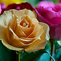 Rose by Harry Spitz
