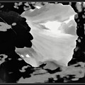 Rose Of Sharon In Black And White by Debra Lynch