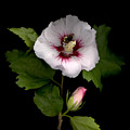 Rose Of Sharon by Sandi F Hutchins