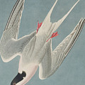 Roseate Tern by John James Audubon