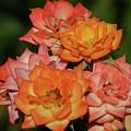 Pink And Orange Roses by Elizabeth Waitinas