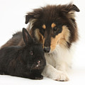 Rough Collie With Black Rabbit by Mark Taylor