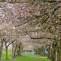 Rows Of Cherry Blossom Trees In Spring by Jit Lim