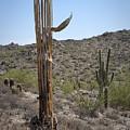 Saguaro Skeleton by Kelley King