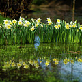 Saint David's Day Daffodils In Wales by Keith Morris