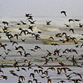 Sand Pipers In Flight by Tom Janca