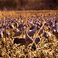 Sandhills In The Corn by Jeff Swan