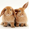Sandy Lop Rabbits by Jane Burton